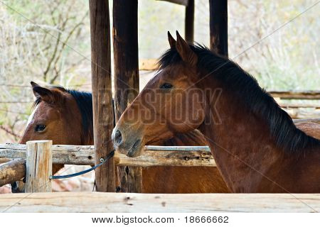 Horses resting in the stable, Equus caballus, farming series