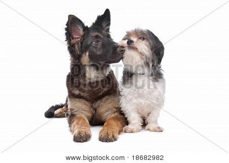 German Shepherd Puppy And A Boomer Mixed Breed Dog