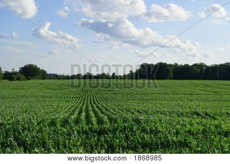 Green Corn