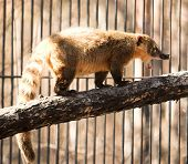 stock photo of coatimundi  - wild animal in the Novosibirsk zoo - JPG