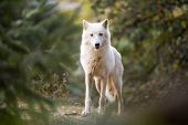 Arctic Wolf Looking at the Camera poster