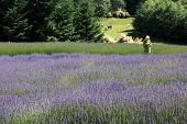 pic of lavender field  - lady in lavender field horses in the background - JPG