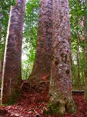 picture of australie  - Four Sisters Kauri Trees  - JPG