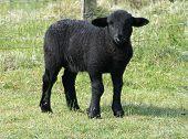 Cute Black Lamb poster