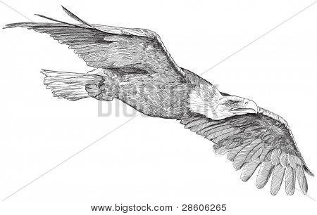 soaring eagle - vector sketch