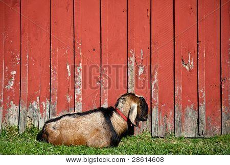 Sleeping Male Goat