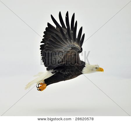 Phase Of Flight Of An  Bald Eagle  In Flight Over Snow Covered Background.