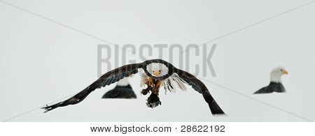 Feeding Of Bald Eagles (haliaeetus Leucocephalus)