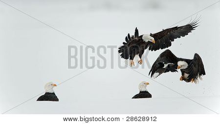 Fighting  Bald Eagles  (haliaeetus Leucocephalus)