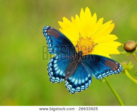 Red-spotted purple admiral butterfly on a yellow coreopsis flower against green background