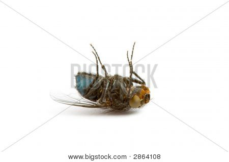 Closeup Of A Dead Fly