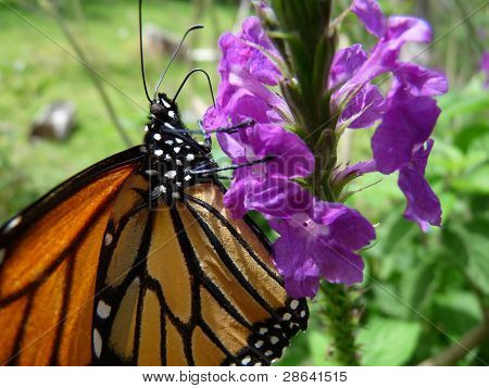 Monarch Butterfly on Flower Macro