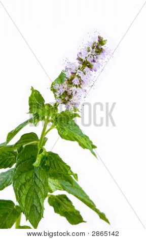 Sprig Of Mint With Flower