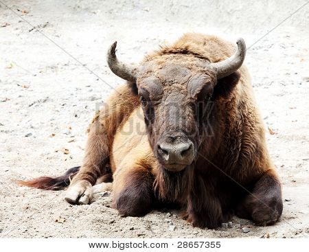 Aurochs Is On The Ground (bison Bonasus)