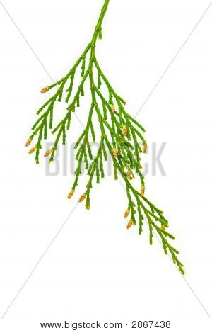 Closeup Of Cedar Branch