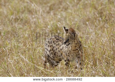 Serval in the long grass of the Masai mara