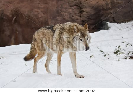Wolf In Winter