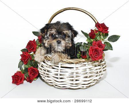 Cute Yorkie Puppy de Poo