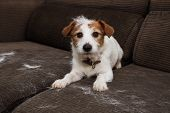 Furry Jack Russell Dog, Shedding Hair During Molt Season Playing On Sofa. poster