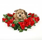 stock photo of poo  - Sweet little Yorki - JPG