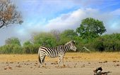 Solitary Burchell Zebra Standing On The Dry Arid African Bush With A Natural Bush Background And Pal poster