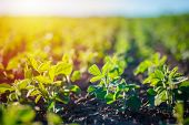 Concept Of Earth Day.  Glycine Max, Soybean, Soya Bean Sprout Growing Soybeans On An Industrial Scal poster