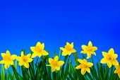 Nature Spring Background With Yellow Flowers Daffodils On Background Of Blue Sky. Spring Flowers Clo poster