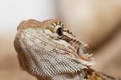 Bearded Dragon Head