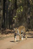 Tigress Seen At Bandhavgarh National Park, Madhya Pradesh, India poster