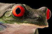 The vibrant eyes of a red eyed tree frog, Agalychnis callydrias. A beautiful night animal frogm the  poster