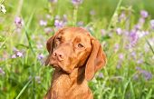 stock photo of vizsla  - A closeup portrait of a Hungarian Vizsla dog with purple wildflowers and green grass in the background