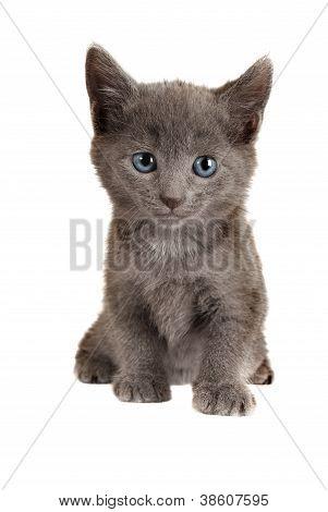 Blue Eyed Grey Kitten On White