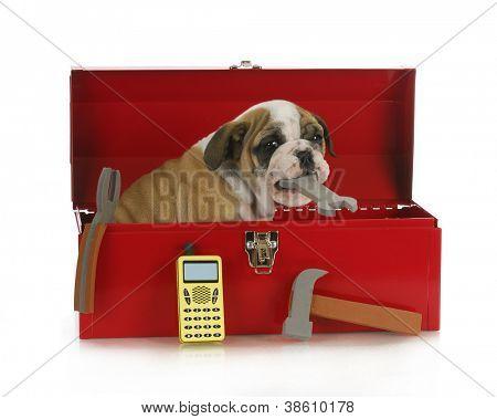 working dog - english bulldog puppy sitting in a tool box holding a wrench