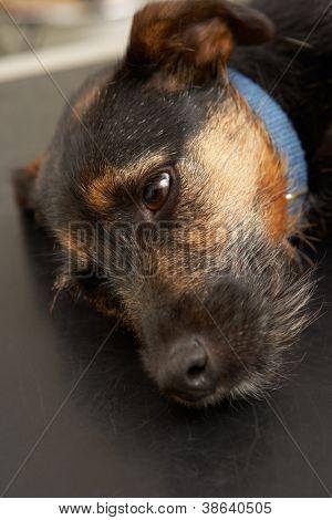 Dog Lying On Examinination Table In Veterinary Surgery