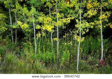 Several birch or aspen trees in autumn with golden  leaves