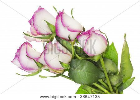 Wilting Delicate Pink Roses Single