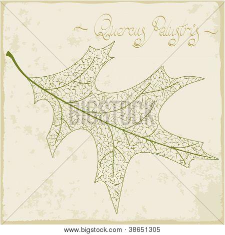 Pin oak leaf skeleton. Vector.