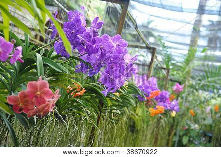 colorful flowers of orchid  in tropical  greenhouse