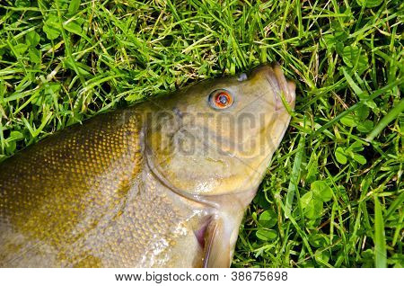 Big Tench Head And Eye On Grass After Fishing