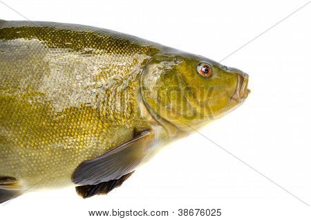 Big Tench Fish  Head On White