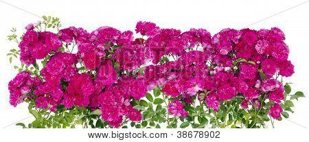 große rosa Rosen Blumen Hecke