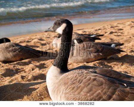 Close View Of A Goose