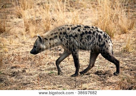 spotted hyena in luangwa park zambia