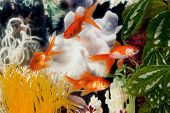 stock photo of fantail  - four fantail goldfish in an aquarium - JPG