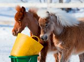 picture of horses eating  - Two horses eating in winter - JPG