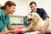 image of veterinary surgery  - Male Veterinary Surgeon Treating Dog In Surgery - JPG