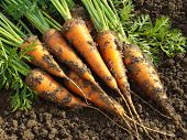 picture of root-crops  - some fresh harvested carrots on the ground - JPG