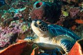 Hawksbill sea turtle (Eretmochelys imbricata) on the coral reef