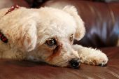 image of bichon frise dog  - A sweet female Poddle Bichon Frise mix breed dog lays on a brown leather couch on lazy morning watching cats and birds as they move around in her back yard - JPG