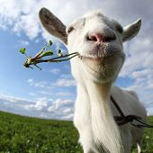 foto of goat horns  - Portrait of a goat eating a grass on a green meadow - JPG